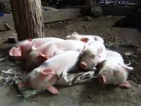 white piglets