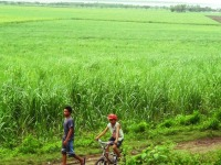 sugar cane plantation, san carlos, negros